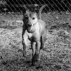 Kangaroo14Jan1700087-Edit.jpg (fredstrobel) Tags: dogs pawsatanta phototype atlanta blackandwhite usa animals ga pets places pawsdogs decatur georgia unitedstates us