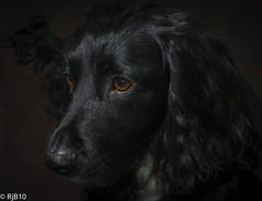 Henry - Cant believe he is 5! (RJB10) Tags: 35mm sb700 lowkey pet dog spaniel spanial cocker black blackdog nikon d300s literoom5 mac raw petportrait portrait animal animalportrait