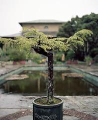 Old Bonsai, Garnish Island (nikolaijan) Tags: plaubelmakina plaubel kodak portra160nc bonsai 120 67 garnishisland ireland islandviews analogtrees irishanalogue