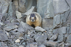 Yellow-bellied Marmot (featherweight2009) Tags: bc marmot marmots yellowbellied manningpark flaviventris marmotoa