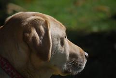 Day 158-365 (mpw1421) Tags: dog skye golden nikon lab labrador blonde 365 gundog day158 d60 labradorretreiver unlimitedphotos day158365 365the2015edition 3652015 7jun15