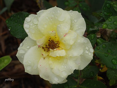 A yellow rose in my garden (pat.bluey) Tags: flowers australia yellowrose newsouthwales 1001nights waterdrops mygarden 1001nightsmagiccity
