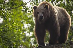 Grizzly Bear (5 of 7) (Snappy_Snaps) Tags: bear canada animal wildlife yukon whitehorse grizzlybear northerncanada exploreyukon