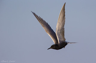 Black Tern Manitoba BE1U8273 Jun 2015