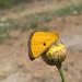 Heliothea discoidaria * Polilla amarilla