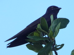 Purple Martin (gurdonark) Tags: bird birds texas allen purple martin wildlife bethany lakespark