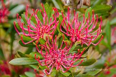 Tasmanian Waratah (Rob Reaburn Photography) Tags: pink flower bush tasmania shrub waratah tassie proteaceae telopea truncata inflorescences