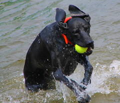 #kingkarl (Ms.Wanderlust) Tags: friends lake dogs water minnesota swim fun 4thofjuly fetch gsp entertaining companions splashing itsadogslife lakeminnetonka lakeliving kingkarl