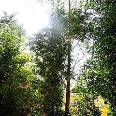 THE BACKYARD TRESS..  SUN RAYS COMING THROUGH. (haifsarafik) Tags: trees pakistan sunlight green nature leaves photography photo backyard nikon flickr peace like calm noflash follow fave karachi novice followback
