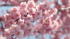 Cherry Blossoms in Hokkaido - Beaming with Confidence (^Lakshman^) Tags: park pink beautiful japan canon happy eos spring hokkaido pretty  bloom   sakura cherryblossoms  tamron hakodate  hanami haru    goryokaku lakshman  50d   mankai  canoneos50d 18270mm tamron18270mmf3563diiivc lakshmanphotography