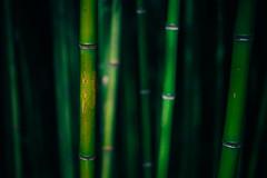 Into the Jungle (toletoletole (www.levold.de/photosphere)) Tags: flora pflanzen cologne kln bamboo bambus fujixt1