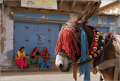 blinkers, mandawa (nevil zaveri (thank you for 10million+ views :)) Tags: street portrait people woman india animals architecture photography photo blog women photographer bell photos stock decoration donkey craft images domestic photographs photograph zaveri mammals mule rajasthan stockimages blinker nevil mandawa shekhawati shekhavati mandava nevilzaveri