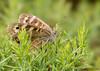 Speckled Wood (Crazybittern1) Tags: butterflies speckledwood sigma70300mmmacro nikond7100