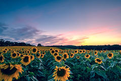 fields of gold (almostsummersky) Tags: flowers sunset sky plants field wisconsin clouds outdoor farm grow sunflowers sunflower fields flowering blooming middleton popefarmconservancy