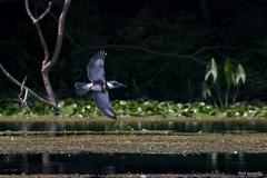 Belted kingfisher (NickJaramillo) Tags: nature birds wildlife nj kingfisher birdsinflight bif beltedkingfisher