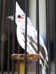 นกกรงหัวจุกด่าง ขั้นตอนการพิสูจน์