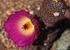 Echinocereus rigidissmus v. rubispinus (l.e.violett) Tags: cactus flowering cultivated echinocereus rigidissmus vrubispinus macro