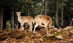 FRANCE DAIM (patrick555666751) Tags: france daim europe europa flickr heart group roussillon catalogne pyrenees orientales parc animalier angles francedaim des worldwide fauna faune animaux animal animals animali animales paisos catalans pays catalan catalunya worlwide
