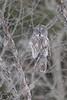 The Ghost (Megan Lorenz) Tags: greatgreyowl owl bird avian birdofprey nature wildlife wild wildanimals ontario canada mlorenz meganlorenz