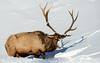 Bull Elk - Yellowstone National Park (dubrick321) Tags: animals elk yellowstone yellowstoneinwinter winterwildlifephotography winter nature wildlife stag outdoors snow bull yellowstonenationalpark
