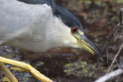 Black-crowned Night Heron (DFChurch) Tags: animal nature wild wildlife florida bird feather six mile cypress slough fortmyers nycticoraxnycticorax