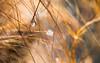 pendentif (christophe.laigle) Tags: goutte macro palmier pluie fuji xf60mm xpro2 waterdrops christophelaigle