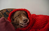 Say Cheese (Busy Packing-Sorry 4 Not Commenting!) Tags: ddc smilesmiling 1886 shizandra chair blanket red relaxing happy dog animal chocolatebordercolliemix inthelivingroom