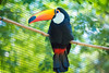Tucano ( Toucan ) (Raf Leme) Tags: tucano toucan aves ave bird birds animal wild wildlife