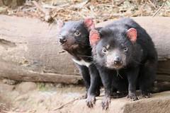 Tasmanian Devils (Ne_Obliviscaris) Tags: tasmanian tassie devils unzoo australia