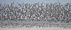 Thousands of Birds (KoolPix) Tags: jonesbeachny beach birds thousandsofbirds wings beaks feathers flying flight bif birdsinflight koolpix jaykoolpix naturephotography jay nature naturephotos naturephotographer animalphotographer wcswebsite nationalgeographic fantasticnature amazingnature wonderfulbirdphotos animal mothernature
