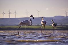Flamingos (iosif.michael) Tags: sony a55 saltlake flamingos water larnaca birds cyprus