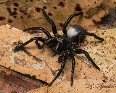 Eastern Mouse Spider. (S.Saunders Photography) Tags: missulenabradleyi australia queensland goldcoast arachnid easternmousespider