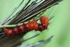 Faithful Beauty Caterpillar (dylannleighturffs) Tags: faithful beauty caterpillar moth insect lepidoptera composia fidelissima everglades pinelands pine rockland nature