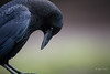 The Contimplating Crow - DROH (morrobayrich) Tags: crow droh dailyrayofhope