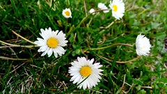 Daisies (martinasirchio) Tags: flower love desire blade grass green nature dream