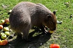 2016-10-08 Faunapark Flakee #0239 (faunaparkflakkee) Tags: capibari zuidamerika knaagdier faunaparkflakkee