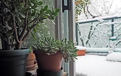 winter '17 (heinz41) Tags: epl7 olympus oly17mm winter snow succulents jade echeverias topsyturvy vancouver