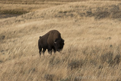 "Bison • <a style=""font-size:0.8em;"" href=""http://www.flickr.com/photos/63501323@N07/32558362585/"" target=""_blank"">View on Flickr</a>"