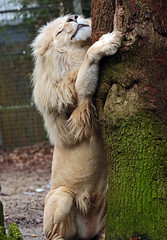african lion Credo Ouwehands JN6A9310 (j.a.kok) Tags: leeuw lion credo afrikaanseleeuw africanlion witteleeuw whitelion pantheraleoleo ouwehands ouwehandsdierenpark ouwehandszoo kat cat mammal africa afrika zoogdier predator