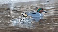 7K8A2668 (rpealit) Tags: scenery wildlife nature east hatchery alumni field hackettstown greenwinged teal duck bird
