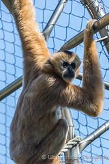 White Cheeked Gibbon (Roemello) Tags: monkey primates gibbon stoneham stonezoo whitecheekedgibbon
