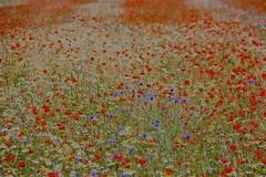 """colorare ... con i petali ("""" paolo ammannati """") Tags: fiori 1001nights umbria papaveri castelluccio fioritura paoloammannati 1001nightsmagiccity"""