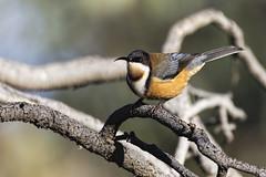Eastern Spinebill 2015-06-21 (_MG_3787) (ajhaysom) Tags: australia melbourne australianbirds greenvale easternspinebill acanthorhynchustenuirostris canoneos60d sigma150600 woodlandshistoricpark