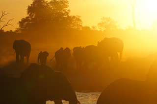 Thirsty Elephants arriving at Waterhole at Sunset