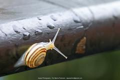 Snegl på Afveje (Appaz Photography☯) Tags: animals dalsvinget denmark dråber havesnegl jylland mullucs silkeborg snail snegl appazphotography