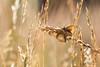Un pap en herbe (photosenvrac) Tags: macro bokeh papillon insecte sigma150 natura2000 thierryduchamp