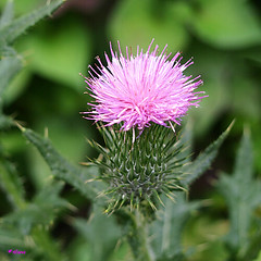 薊 / Cirsium (hanatomosan) Tags: pen 薊 花言葉 真四角
