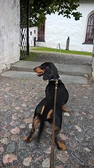 WP_20150707_17_01_25_Pro (verbeek_dennis) Tags: dachshund tax porvoo domkyrka borg oldporvoo kaapo myrkoira porvoontuomiokirkko gravhund