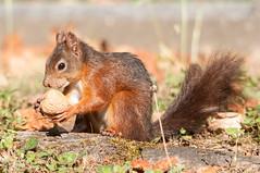 Red squirrel (Sciurus vulgaris) (squ_ier) Tags: mammal nikon squirrel wildlife orava ekorre eichhrnchen redsquirrel ekorn eekhoorn sciurusvulgaris d90 sugetier cureuilroux ardillaroja esquilovermelho wiewirkapospolita sigma150500 veverkaobecn almindeligtegern scoiattolocomune  kzlsincap wildlifegermany vevericastromov