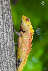 Oriental Garden Lizard !!! Howz my Spiky Hairstyle:) (Narasimhan.N) Tags: india garden wildlife lizard chennai nationalgeographic gardenlizard allofnatureswildlifelevel1